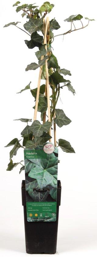 hedera-hibernica-irish-ivy-in-pot