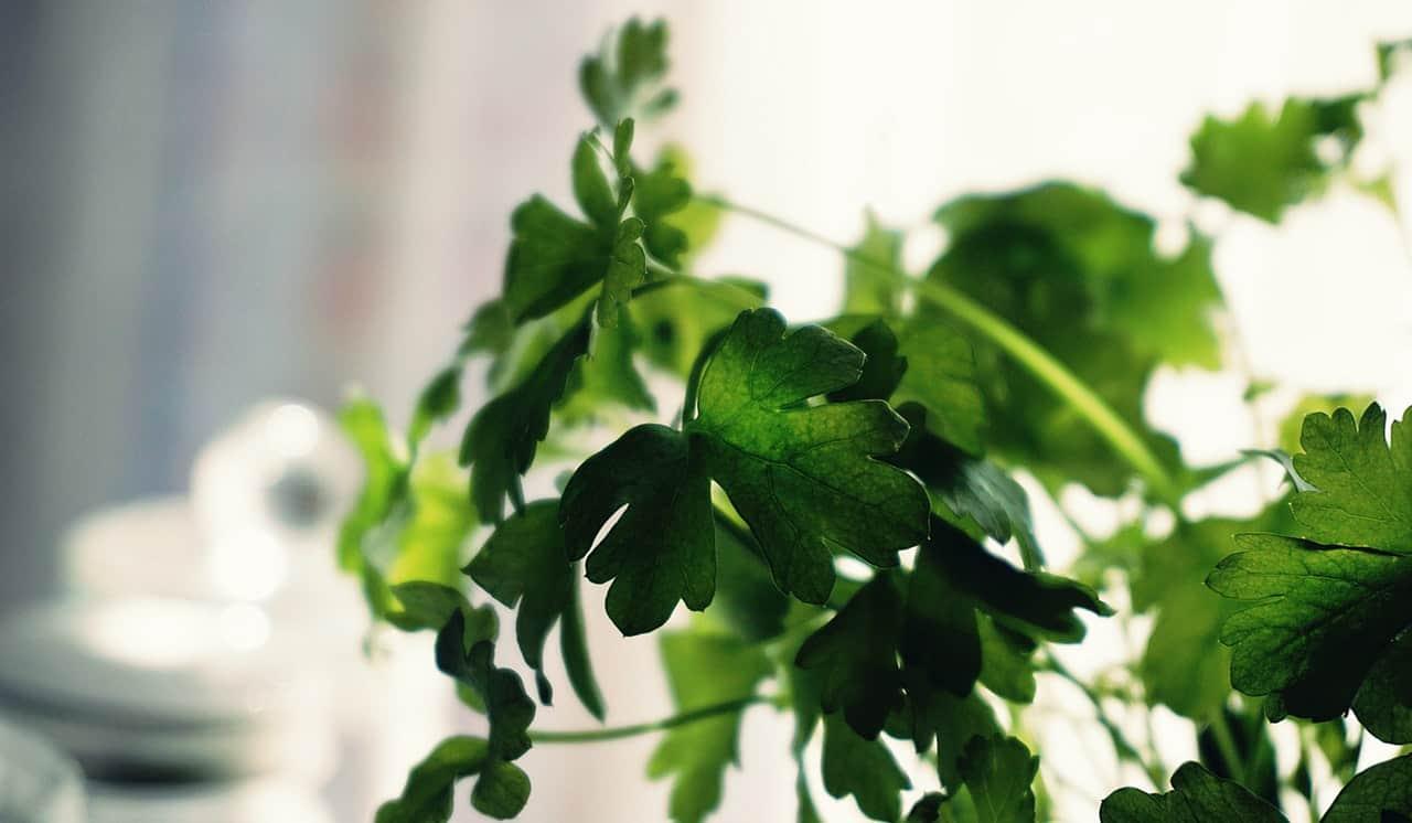 Kruiden kweken in een kastje koriander