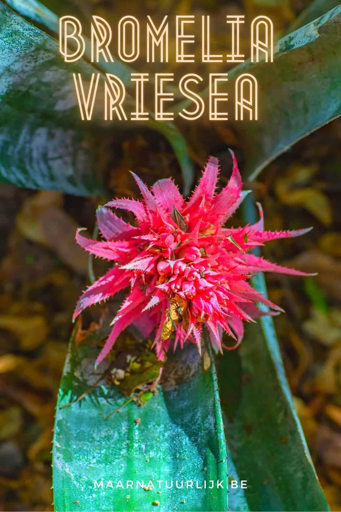 Bromelia Vriesea voor verticaal tuinieren