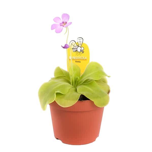 Butterwort of Vetblad (Pinguicula Tina) vleesetende plant