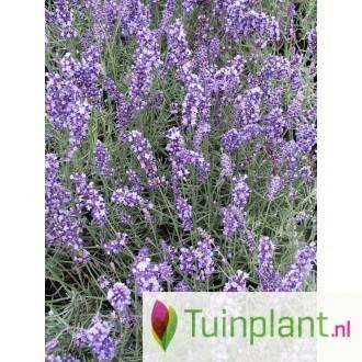 Lavendel in je kas