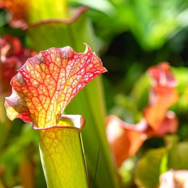 Papegaaibekplant (Sarracenia Psittacina)