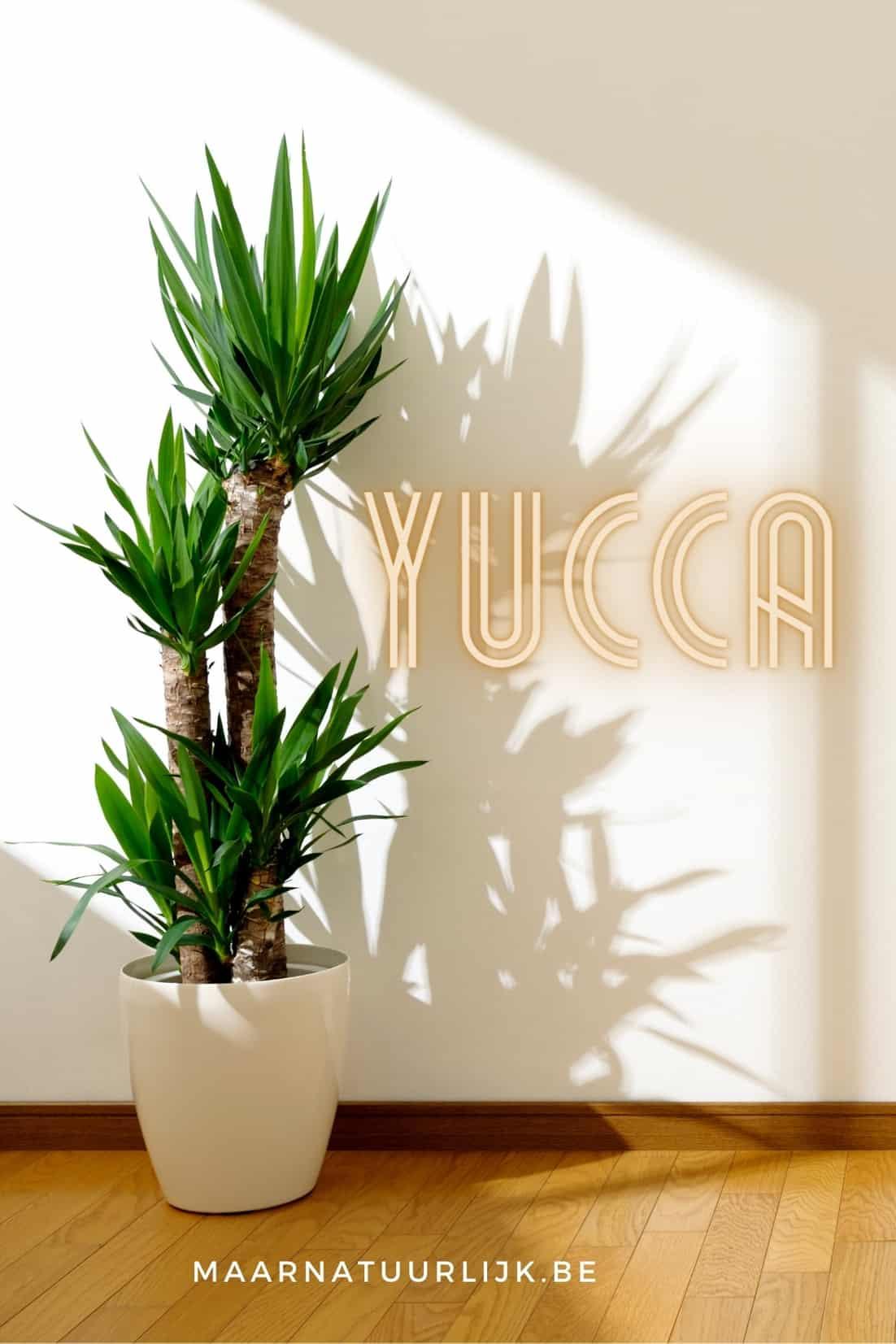 Yucca als mooie grote kamerplant